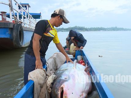 """1 Việt kiều mua được cá tra dầu """"khủng"""" nặng 240 kg"""