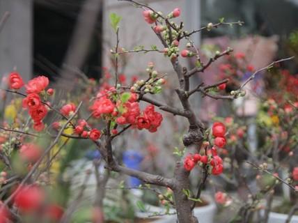 Mai đỏ Trung Quốc đổ bộ cận Tết, giá bạc triệu