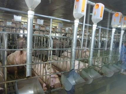 Chăn nuôi vẫn khó tứ bề (*): Giảm giá thành - vấn đề sống còn