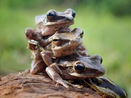 Cặp vợ chồng Pháp khốn khổ vì ếch quá ồn ào trong mùa giao phối