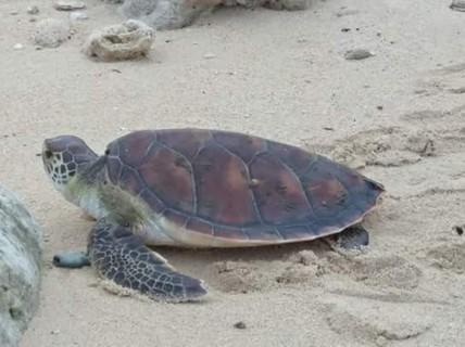 """Lý Sơn: Rùa biển """"khủng"""" quý hiếm chết vì mắc lưới ngư dân"""