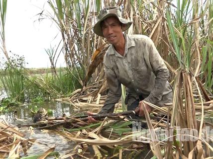Ứa nước mắt với hình ảnh nông dân trồng mía trắng tay vì lũ