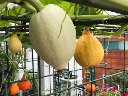 """Gia đình ở TP HCM bị nhầm là trồng rau """"đột biến"""" vì quá tốt"""