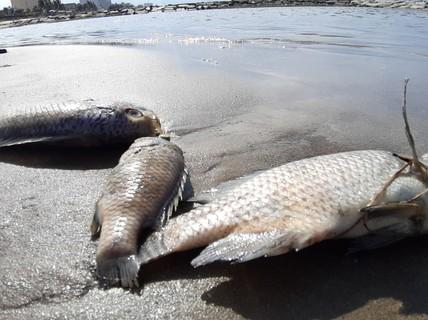Cá chết hàng loạt dạt vào bờ trên bãi biển Đà Nẵng