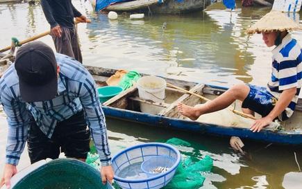 Hàng đàn cá nâu, cá hồng bé đang bơi đầy cửa biển Thuận An