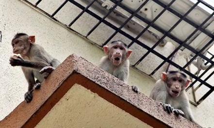 Bị khỉ cướp khỏi lòng mẹ, bé 12 ngày tuổi chết thương tâm