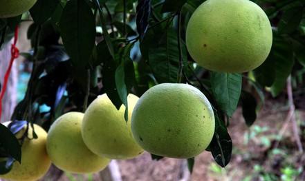 Choáng ngợp với vườn bưởi toàn quả là quả ở Phúc Trạch