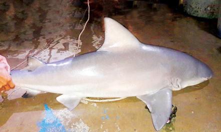 Chuyện truy bắt cá mập ở sông Vàm Nao
