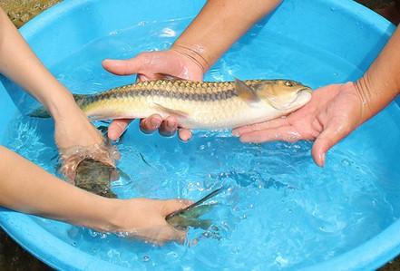Nín thở cùng cần thủ câu loài cá quý như vàng ở thác La Ve, Lào Cai