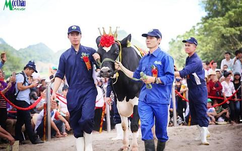 Hội thi Hoa hậu bò sữa năm 2019