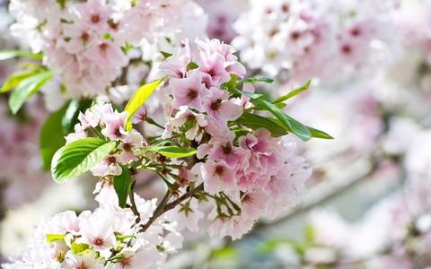 """""""Thủ đô hoa anh đào của thế giới"""" rực rỡ khi vào mùa"""