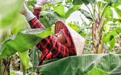 Lá chuối thay nilon, người dân kiếm bạc triệu từ nghề chặt lá chuối