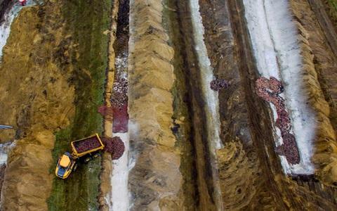 Cảnh tượng đáng sợ ở Đan Mạch: Xác chồn nổi lên từ hố chôn tập thể