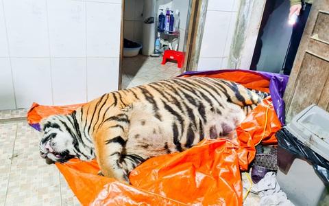 Phát hiện con hổ lớn nặng khoảng 250 kg trong nhà dân