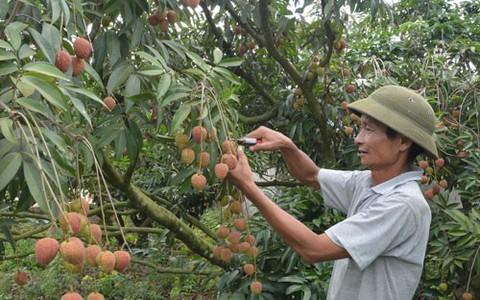 Cục Quản lý thị trường Đắk Lắk bán giúp 140 tấn vải thiều Bắc Giang