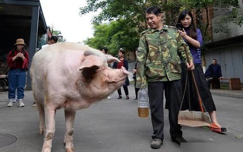 """""""Trư Kiên Cường"""" - con heo nổi tiếng nhất Trung Quốc qua đời"""