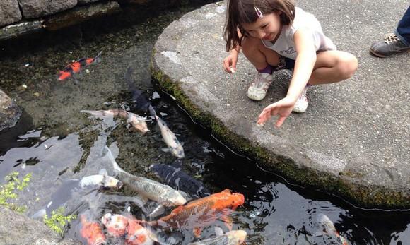 Du khách ngạc nhiên khi thấy cá koi sống dưới rãnh nước ở ngôi làng Nhật Bản