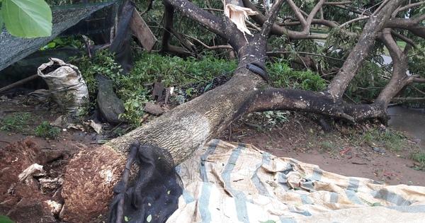 Mưa, lốc, hàng loạt cây xanh ở Lâm Đồng ngã đổ
