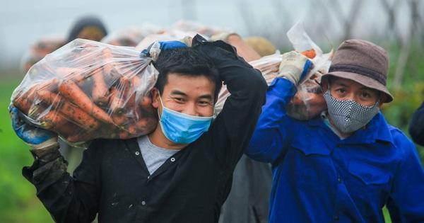CLIP: Người dân Hải Dương nhộn nhịp thu hoạch cà rốt