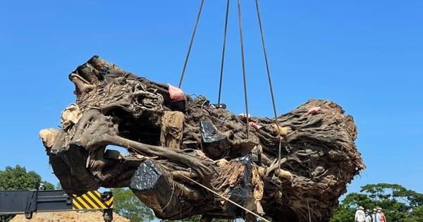Quảng Ngãi: Cây đa 200 năm tuổi ʙị ɴɢã đổ được trồng lại ở núi Thiên Bút