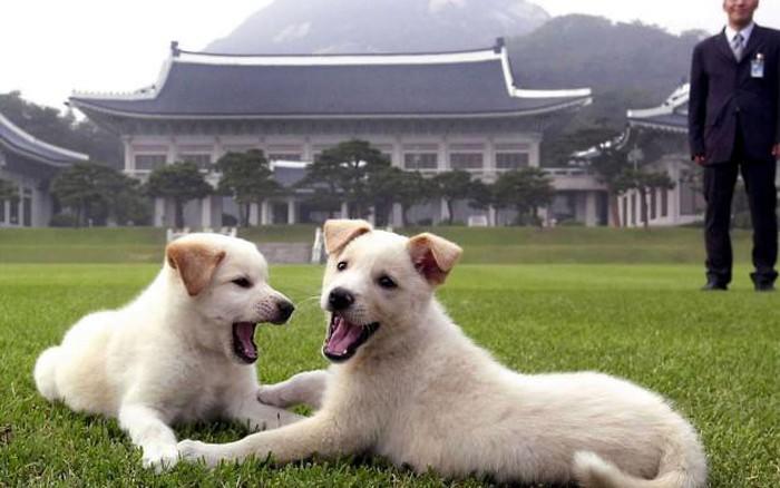 Kết quả hình ảnh cho Poongsan dog