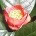 Loài hồng trà độc nhất vô nhị trên thế giới ở Yók Đôn